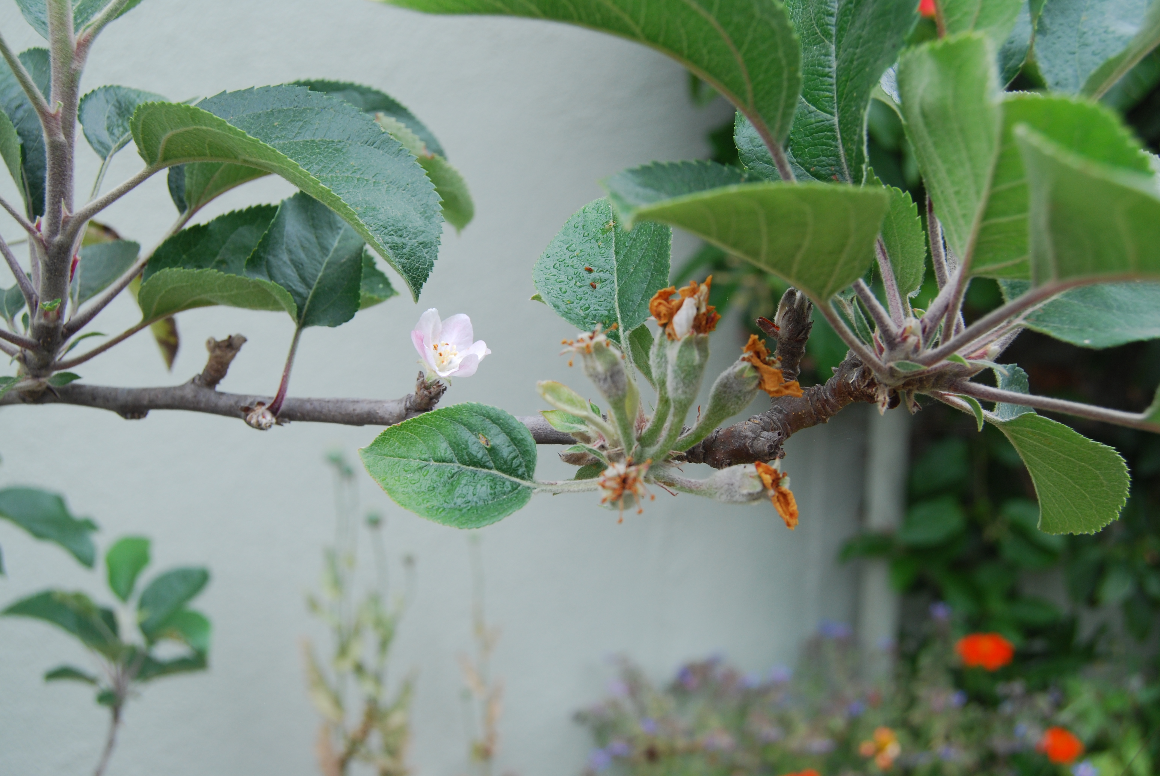 Fuji apples flowering and setting fruit. It brings hope for a delicious fall crop.
