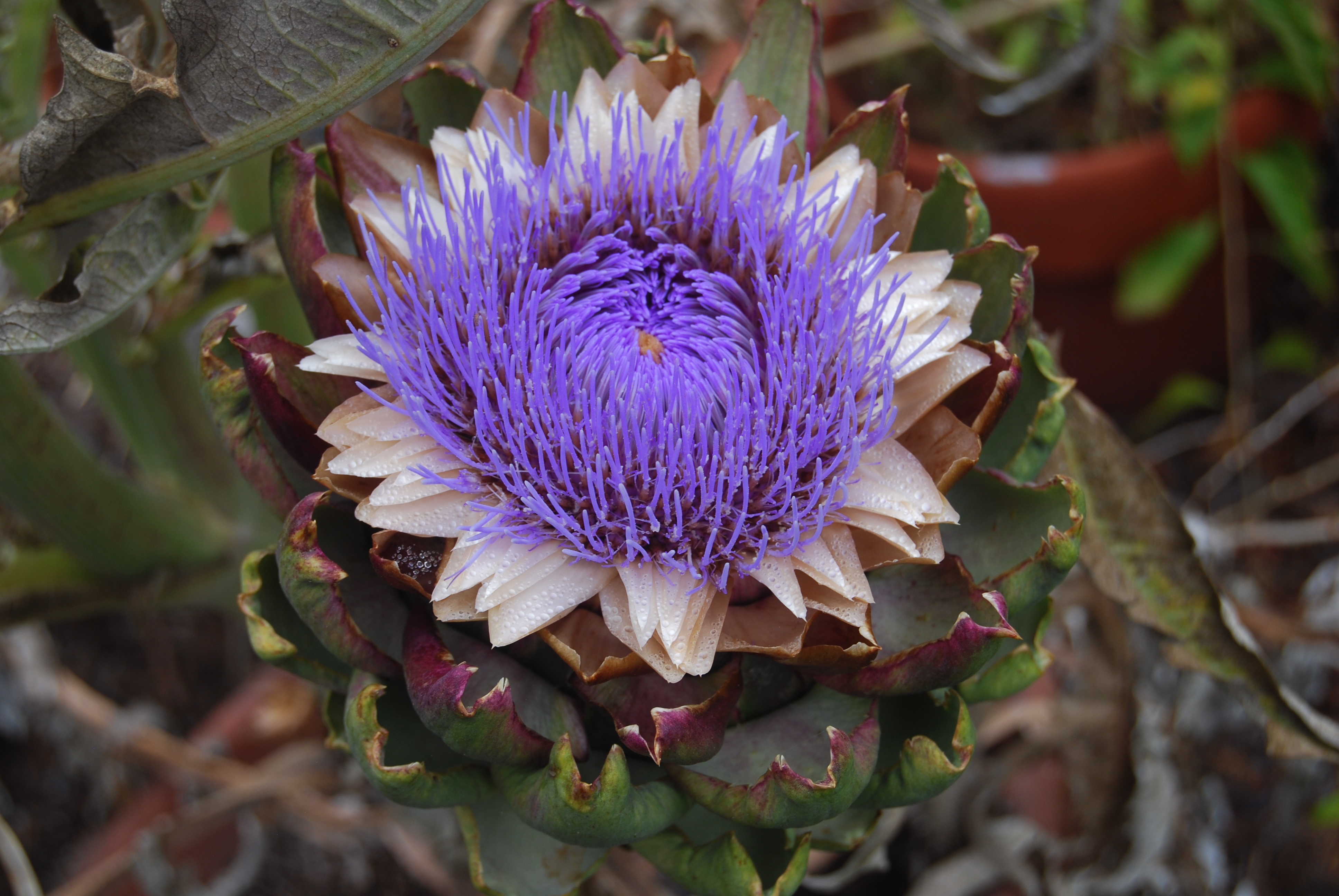 Let artichokes go to flower. We'll save seeds from this Winnetka Purple artichoke for the Seed Library of Los Angeles.
