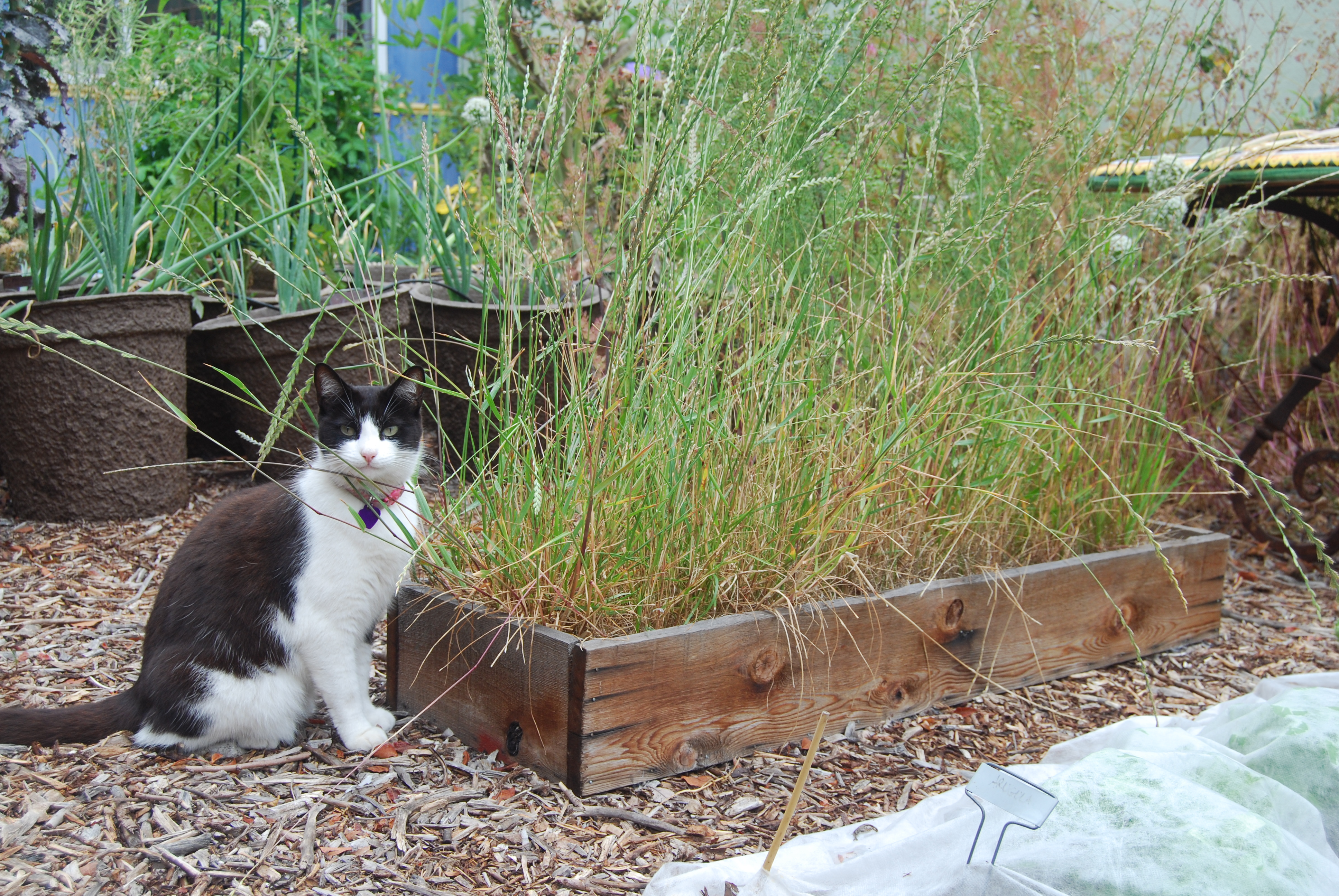 Sweet Mittens enjoys the seed heads from some overgrown chicken forage mix. She killed a rat the other day.