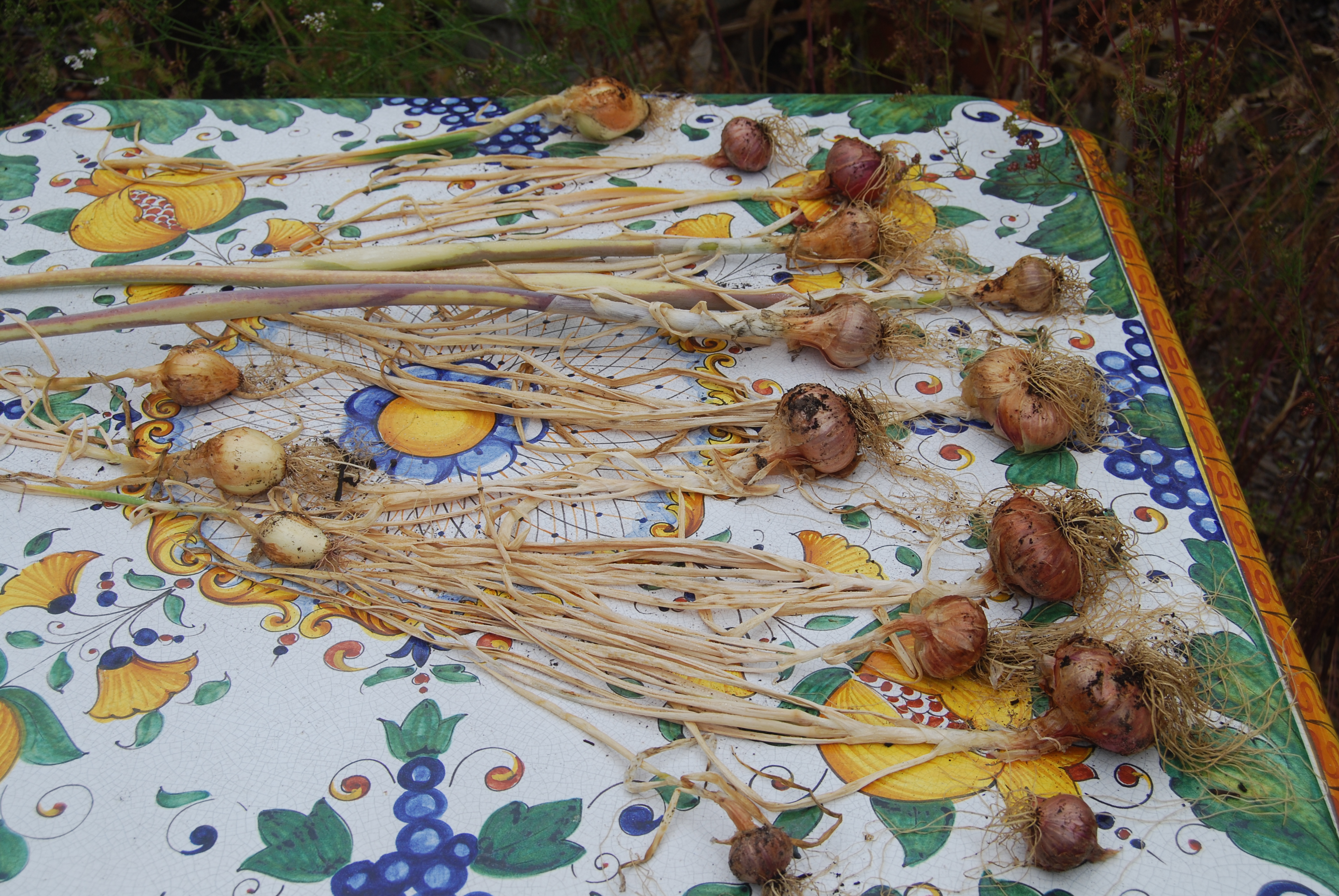 Drying down recently harvested onions. Next they'll go indoors to complete curing before storage.