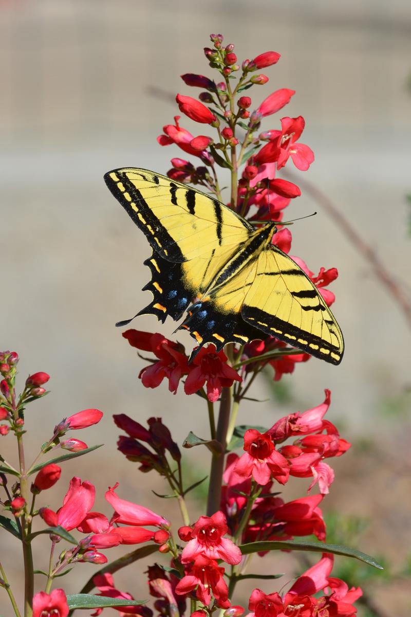 butterflies Ascelpias gay