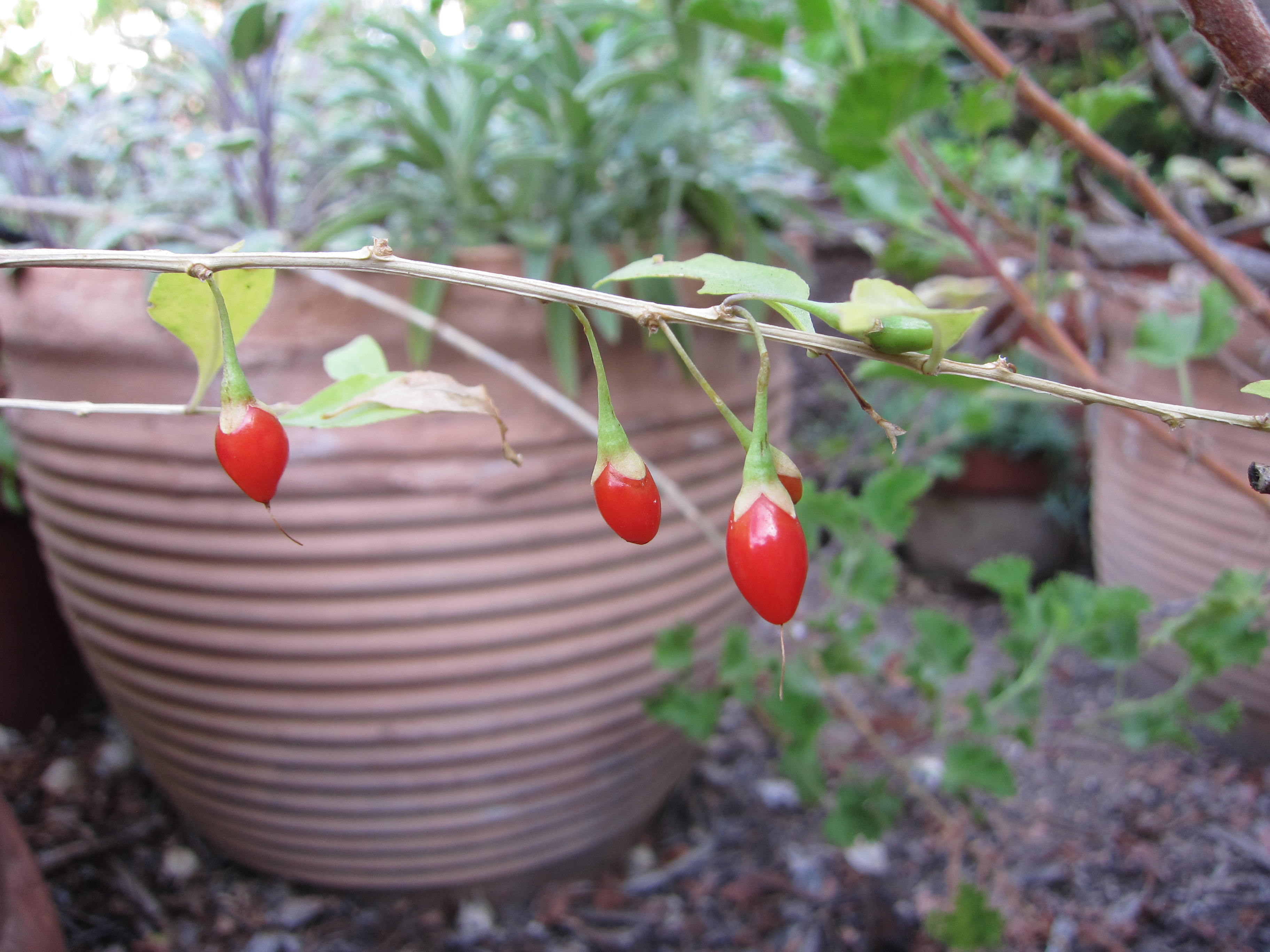 Homegrown Goji Berries Gardenerd