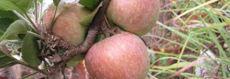 Fuji apple wordless wednesday