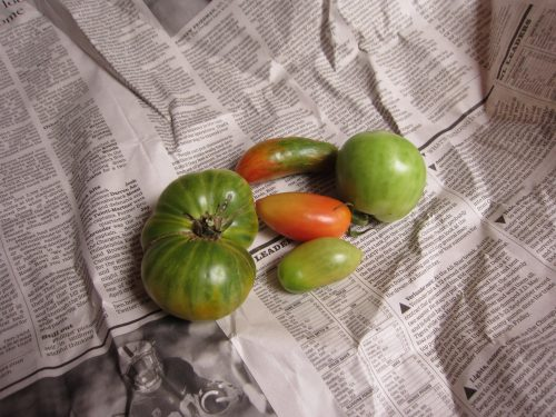 Read more about the article Ripening Green Tomatoes