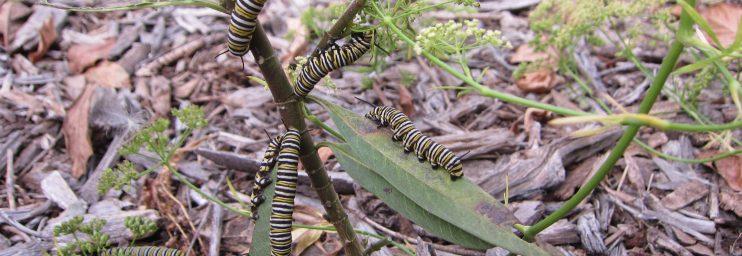 Monarch caterpillars wordless wednesday