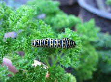 Wordless Wednesday swallowtail caterpillar