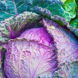 Purple Savoy cabbage1