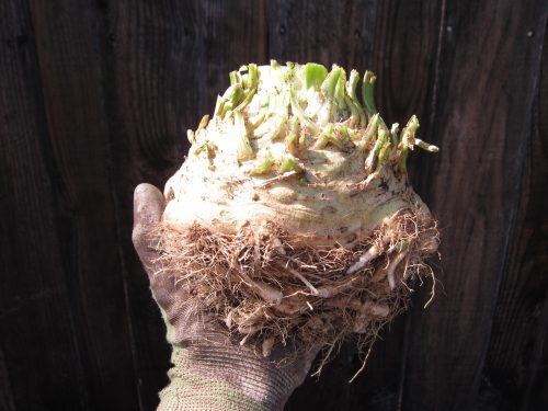 Read more about the article From Harvesting Celeriac to Celeriac Soup