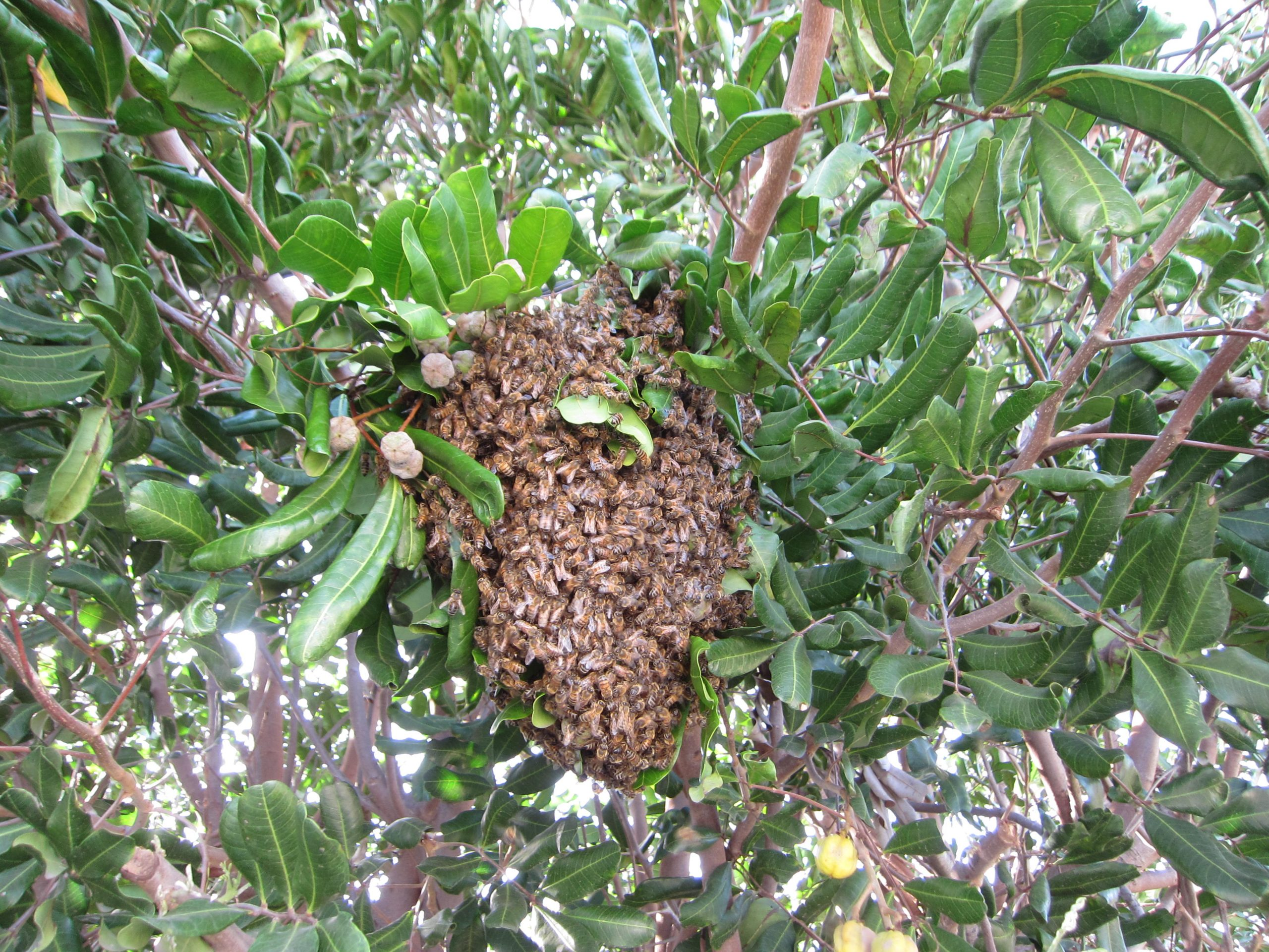 Read more about the article YouTube: Rescuing a Feral Bee Swarm