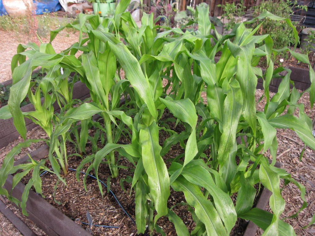 Wordless Wednesday corn