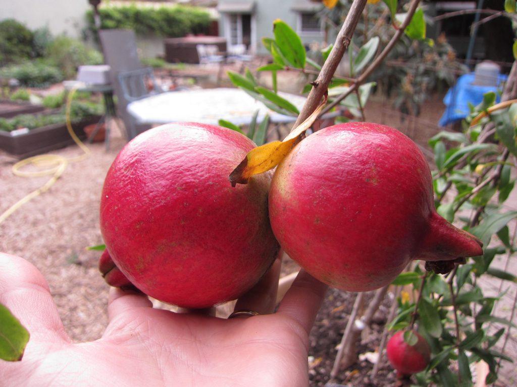 Wordless Wednesday Pomegranate