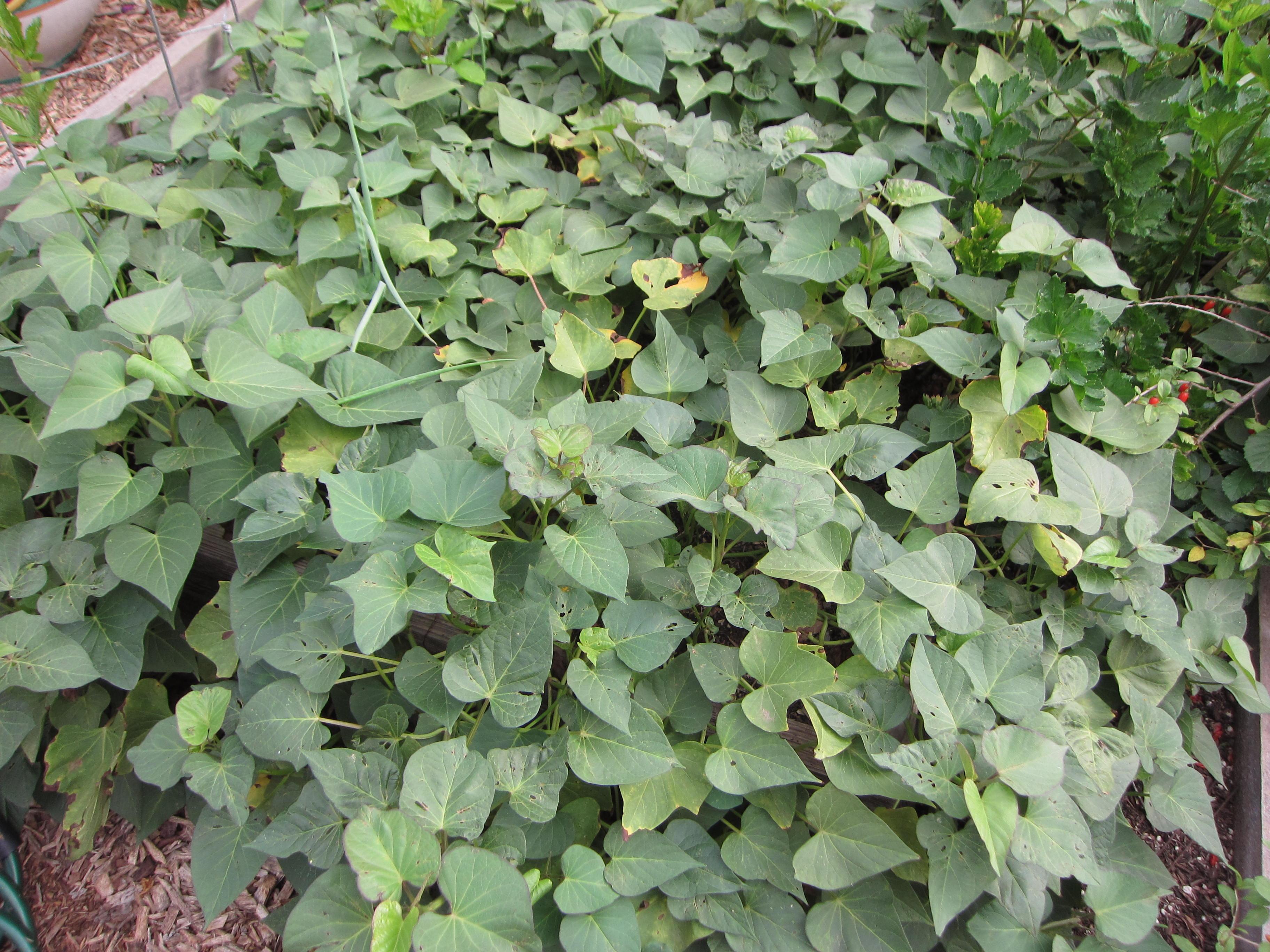 Wordless Wednesday Sweet Potatoes