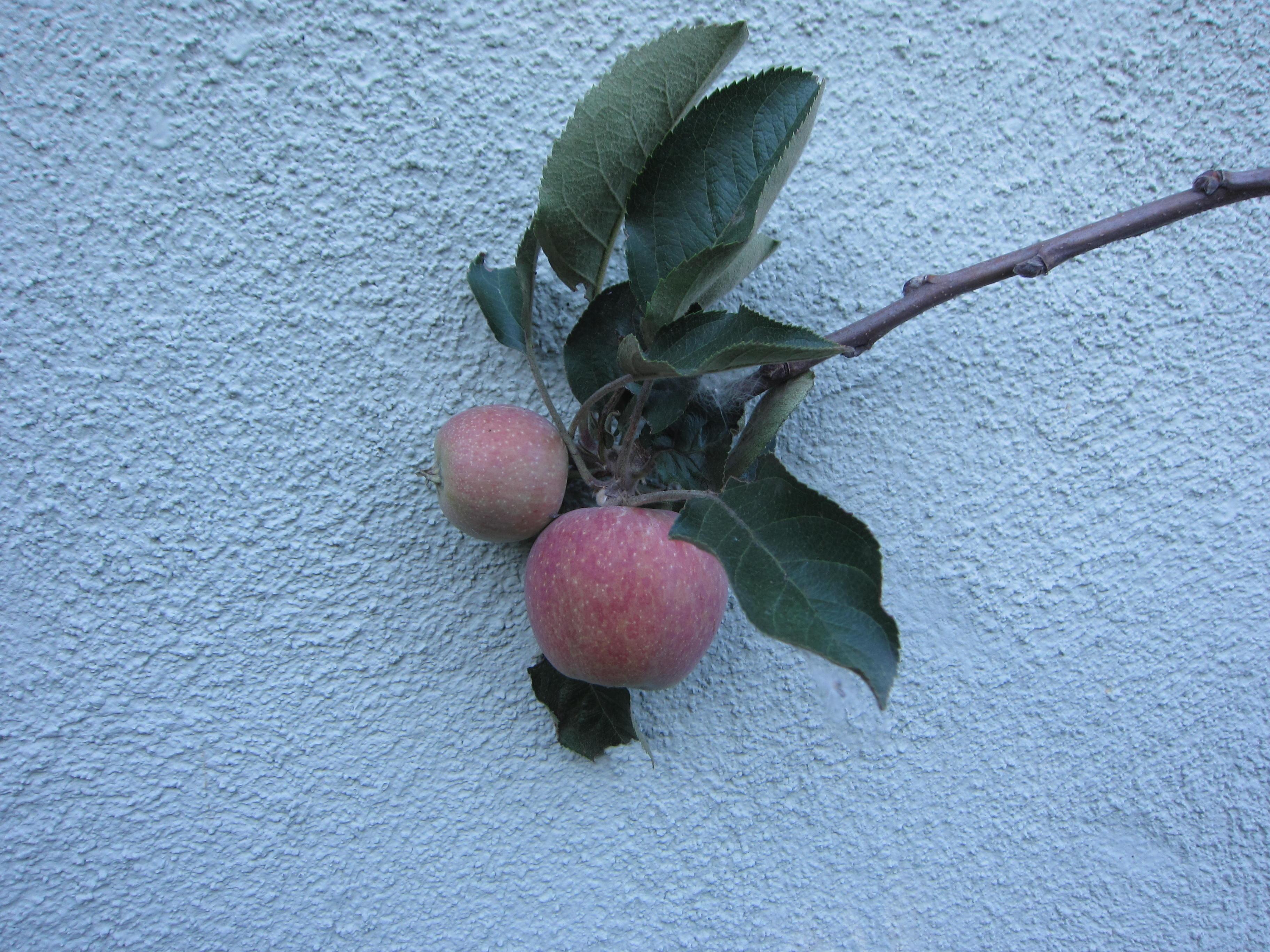 Wordless Wednesday Apple Tree