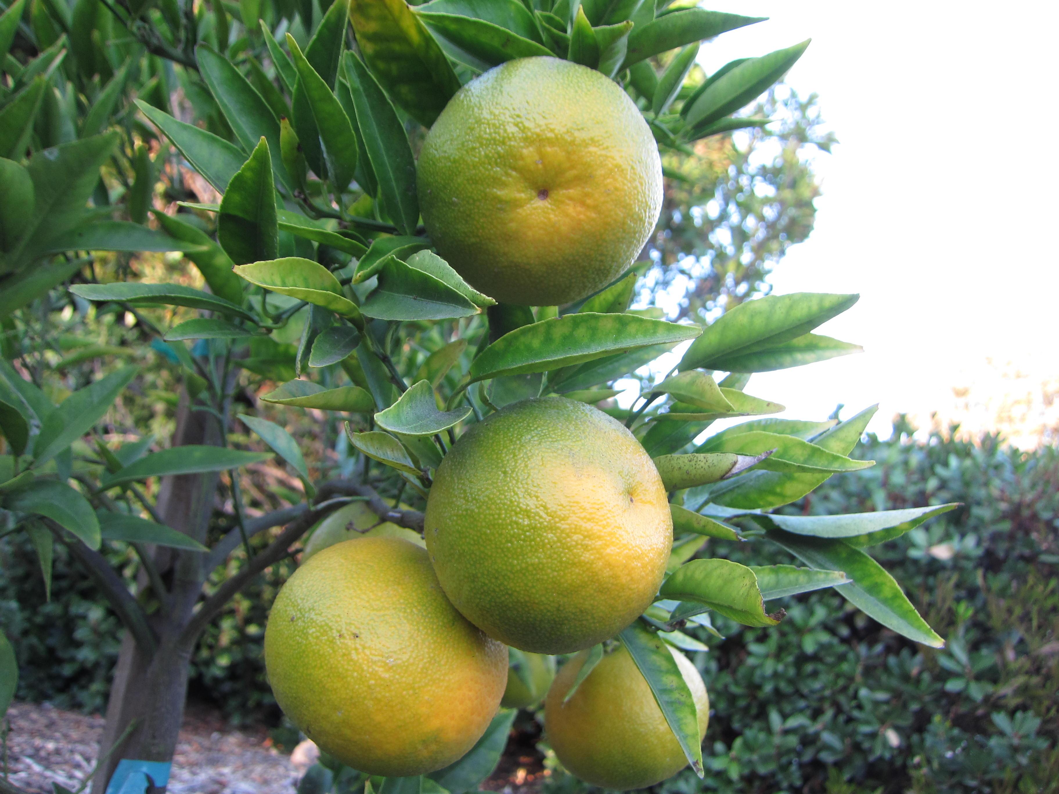 Wordless Wednesday Tangerine
