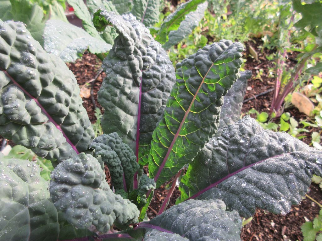 Dazzling Blue Kale without the presence of cabbage moth or cabbage looper damage