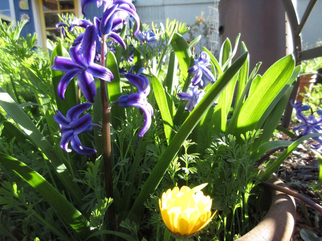 Hyacinth and calendula