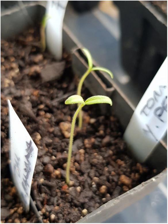 Spindly Seedlings Under Grow Lights Gardenerd