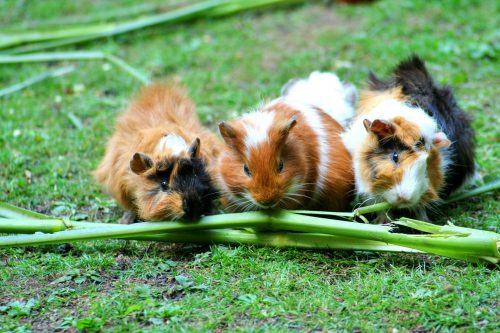 Read more about the article Ask Gardenerd: Guinea Pig Poop?
