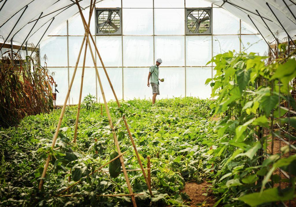 High Tunnel Greenhouse Jere Gettle in sea of watermelon