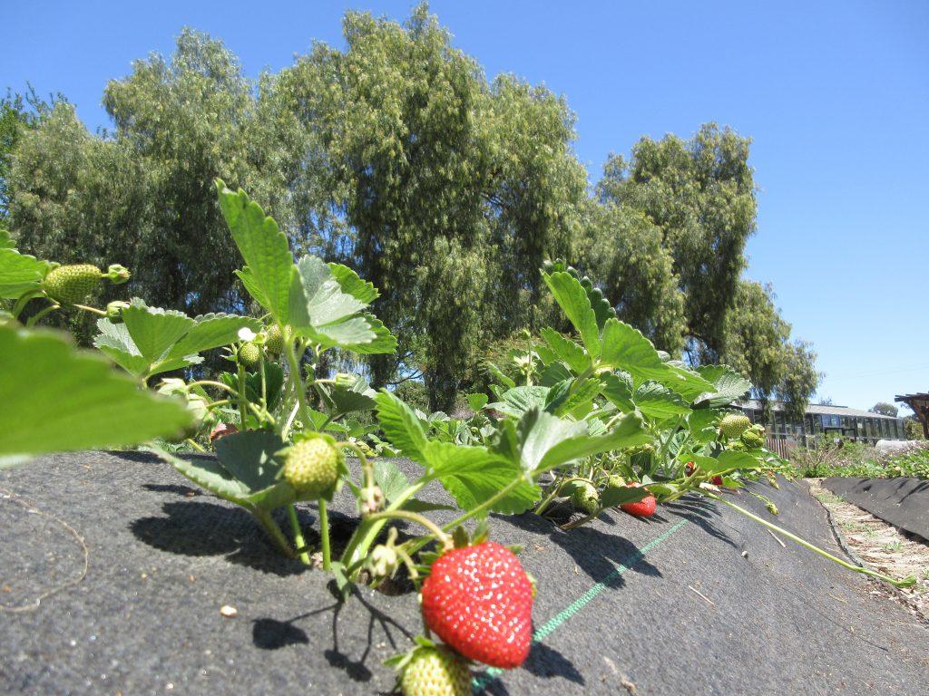 Apricot Lane Farms Strawberries