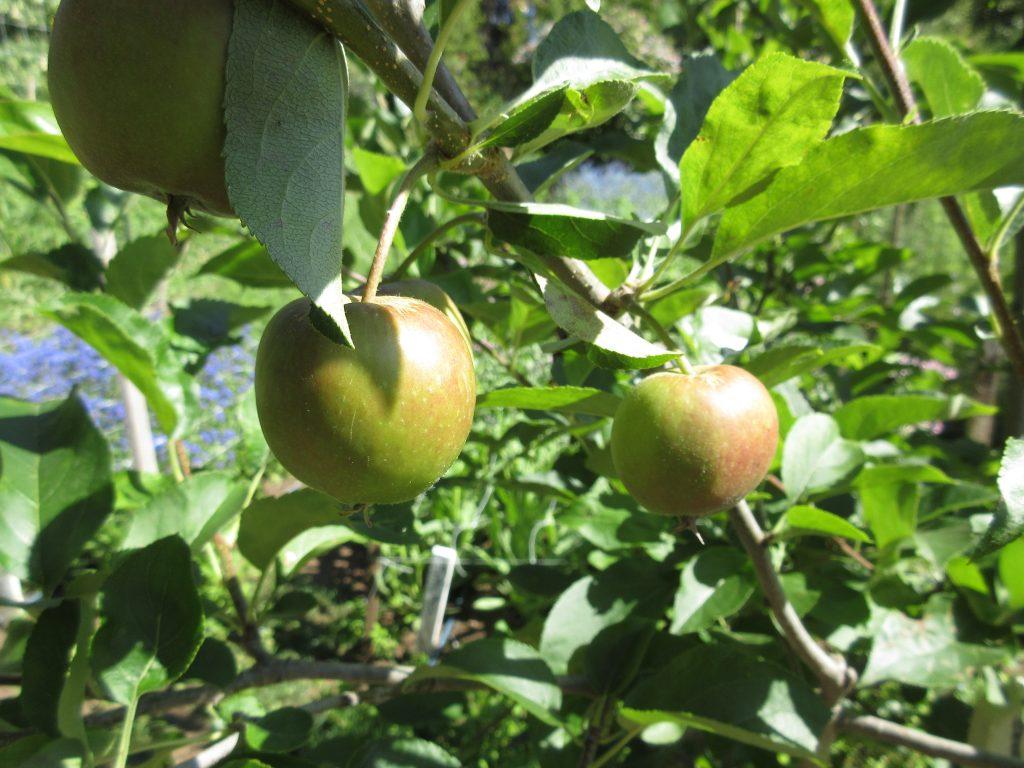 Alan Chadwick Garden Apples