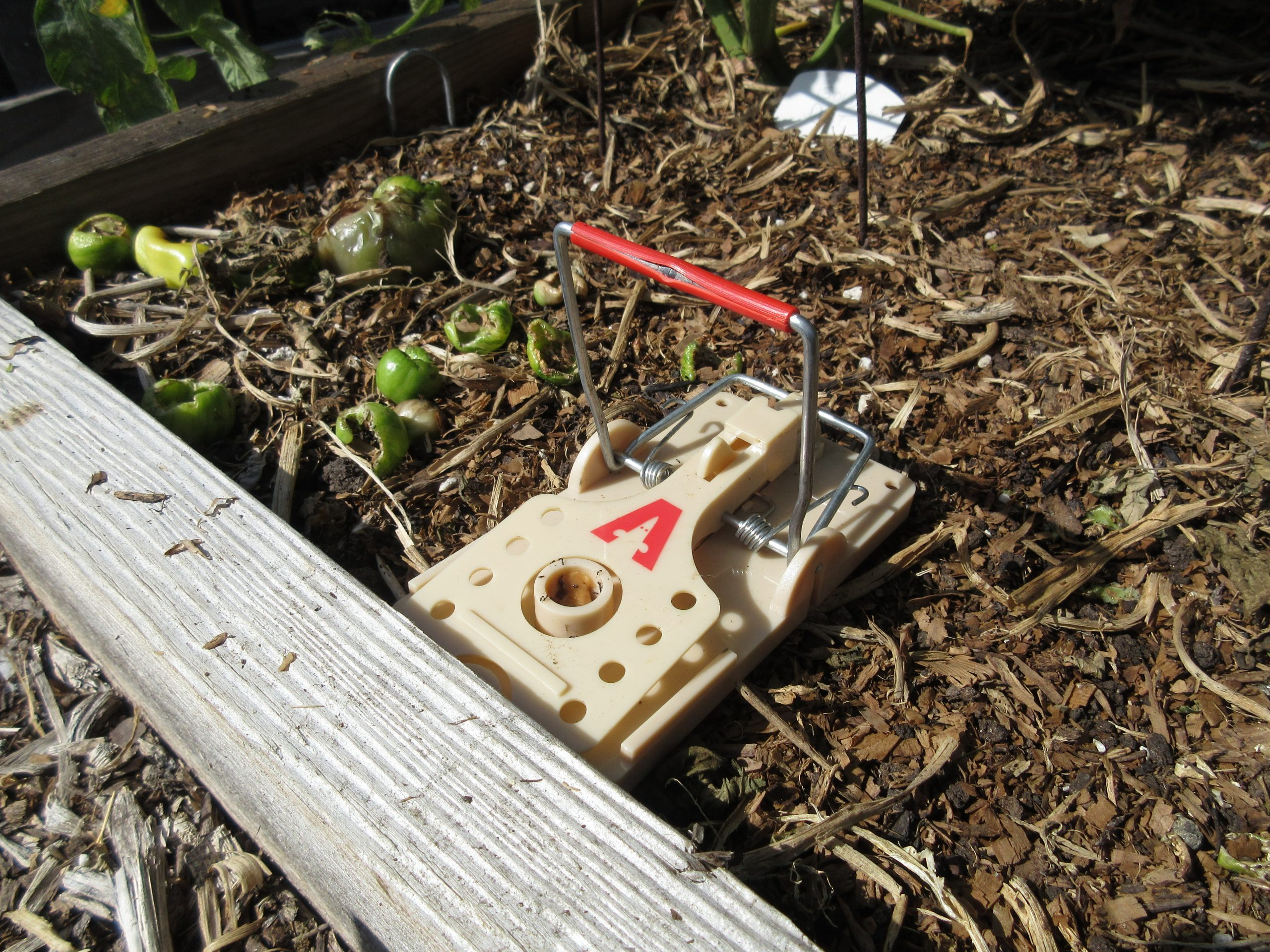 Read more about the article Ask Gardenerd: Rats and Their Traps