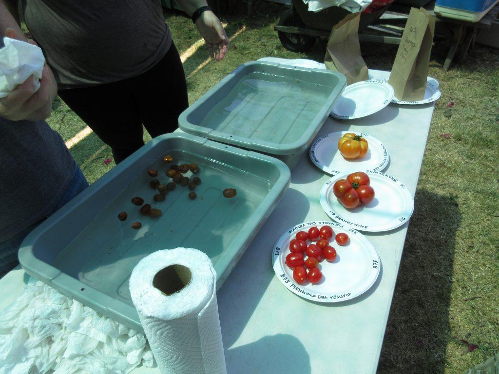 Tomato tasting washing