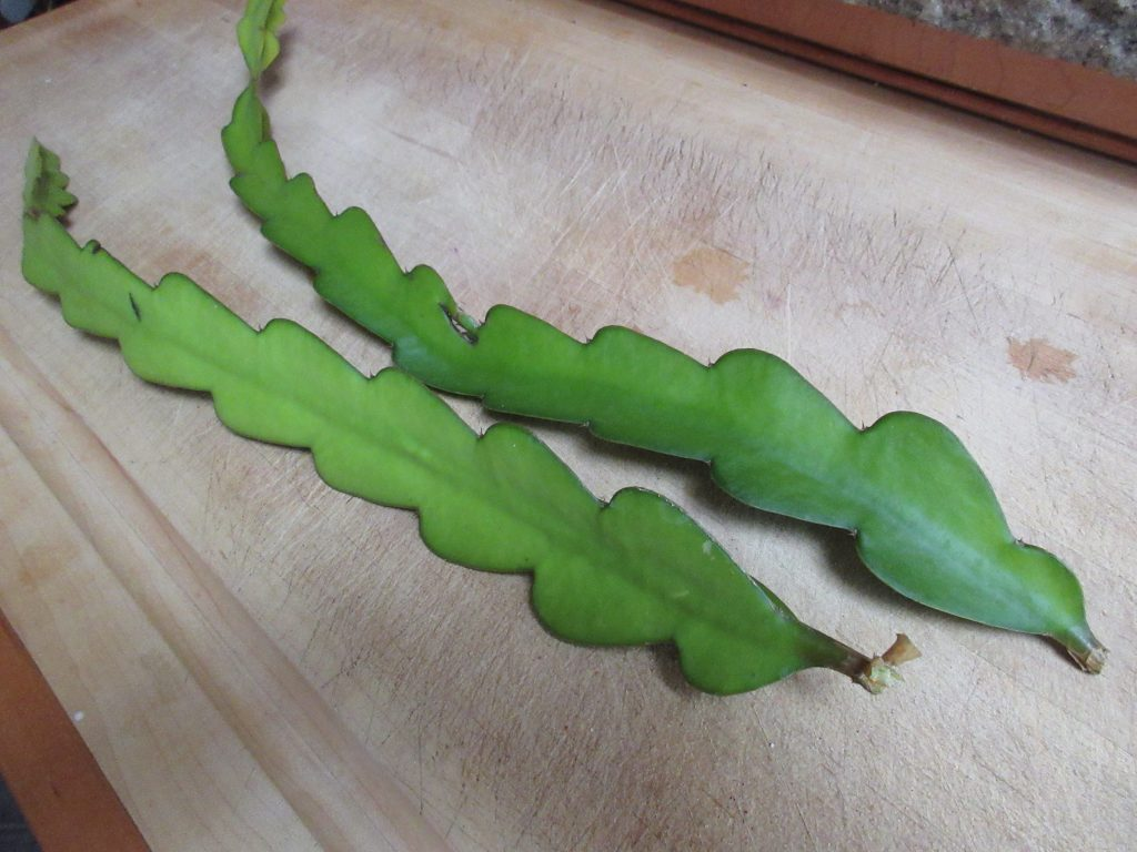 Dragon Fruit Cuttings