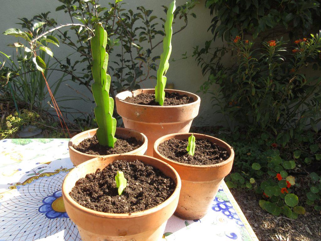 planted dragon fruit