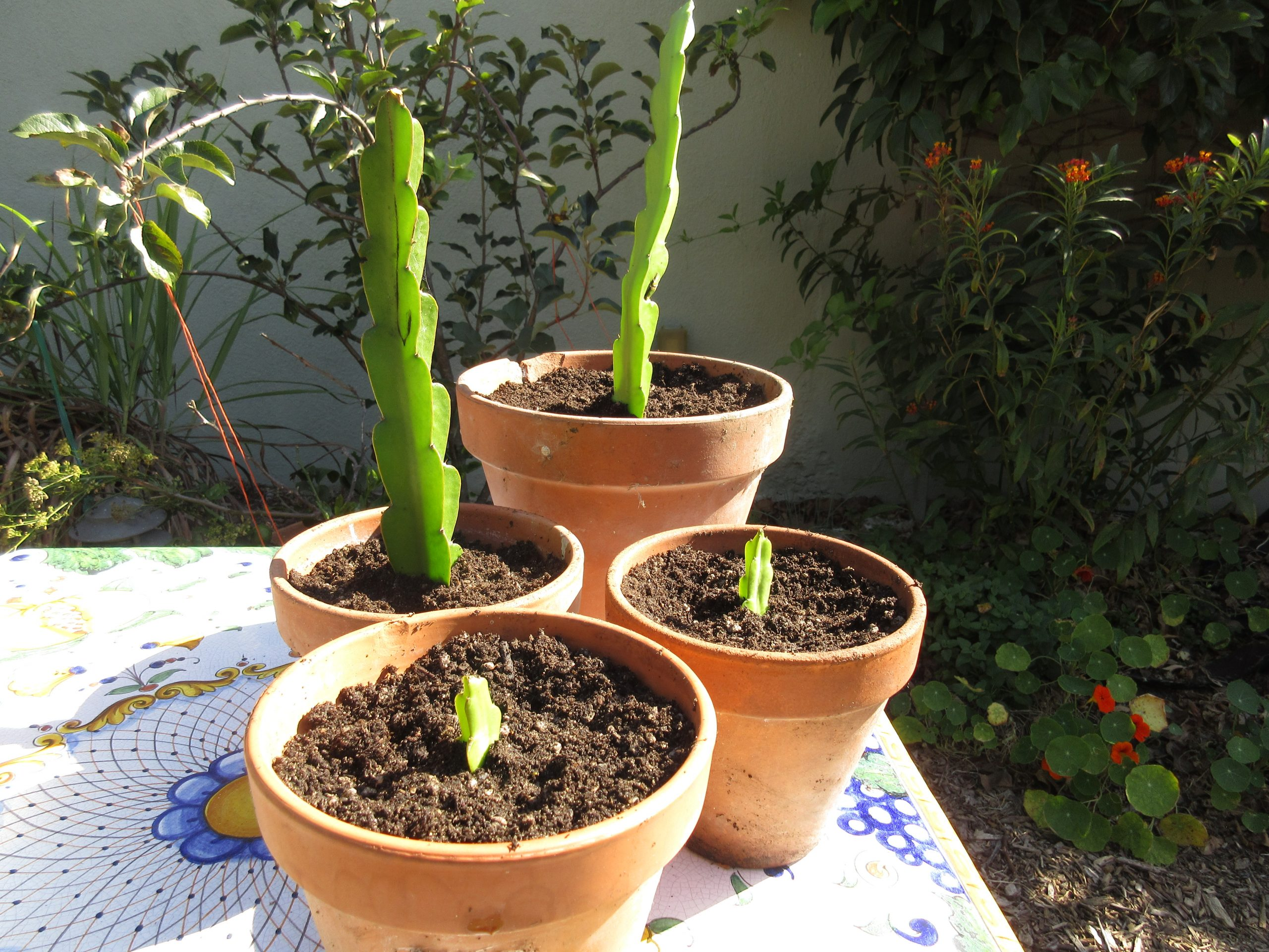You are currently viewing Propagating Dragon Fruit From Cuttings