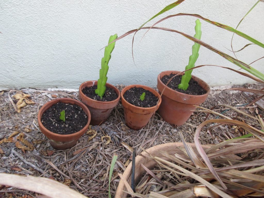 planted cactus in shade
