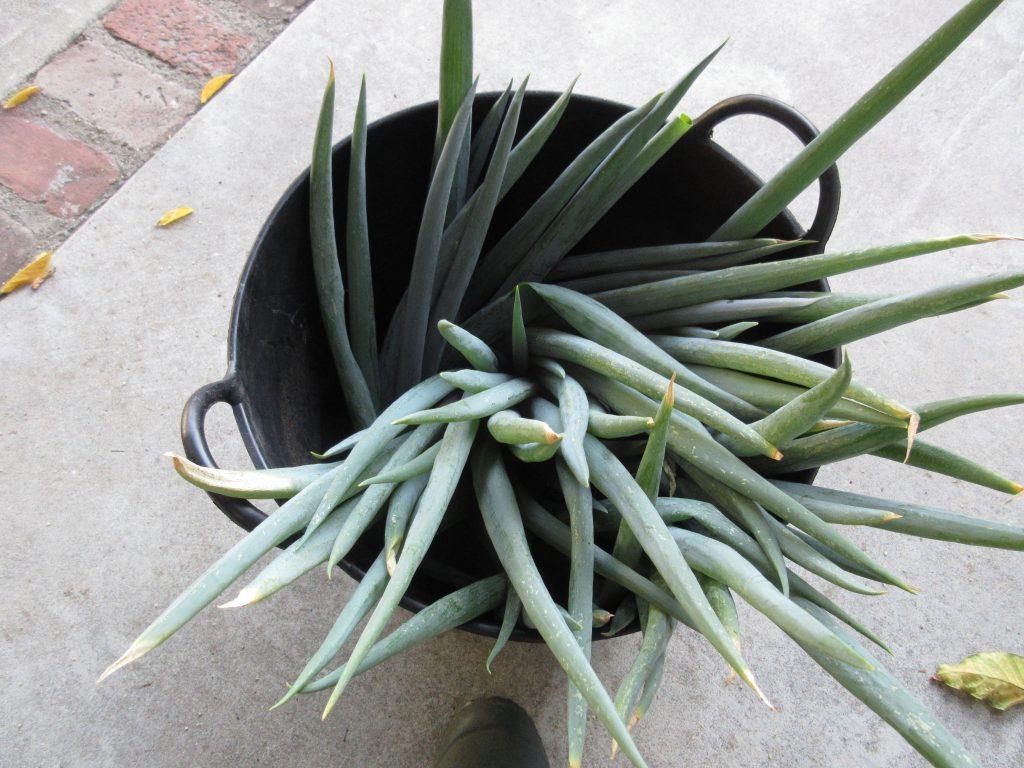 Green onion harvest
