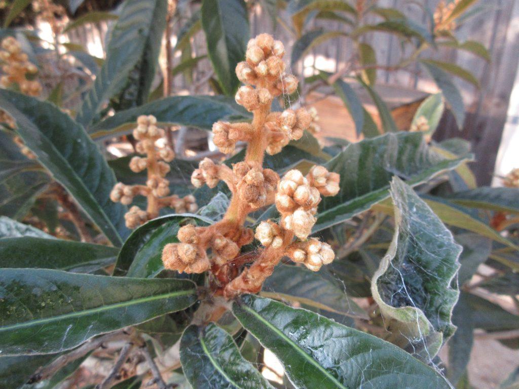 Loquat tree flowers