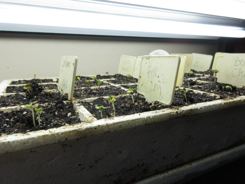 brassica sprouts