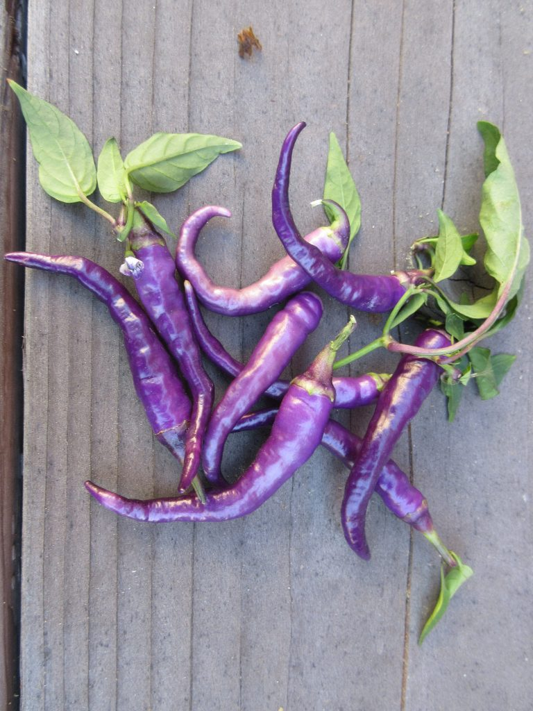 Purple peppers HoneyGirlGrows