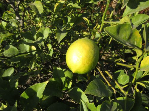 Read more about the article Ask Gardenerd: Lemon Tree Grown from Seed
