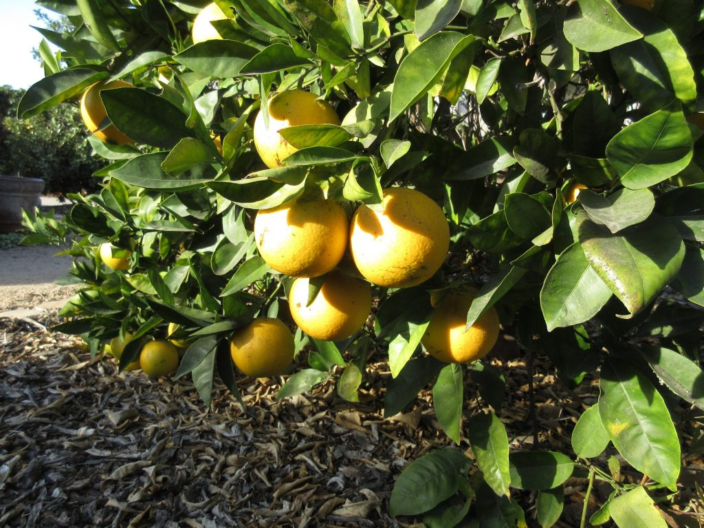 Most citrus tree problems are solved like these navel oranges