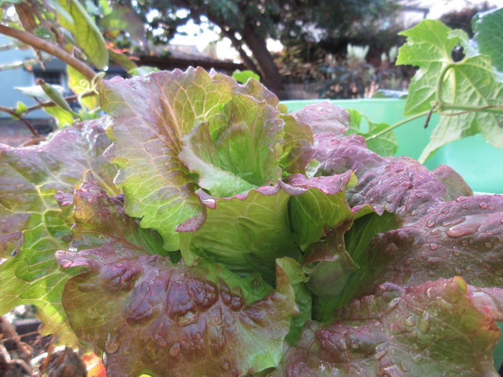 Wordless wednesday lettuces