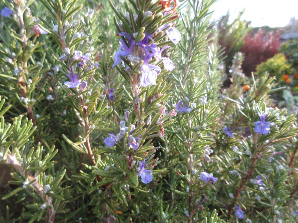 Rosemary blossoms