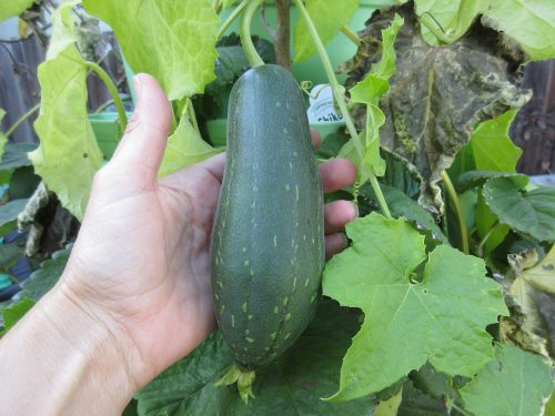 Read more about the article Harvesting Luffa