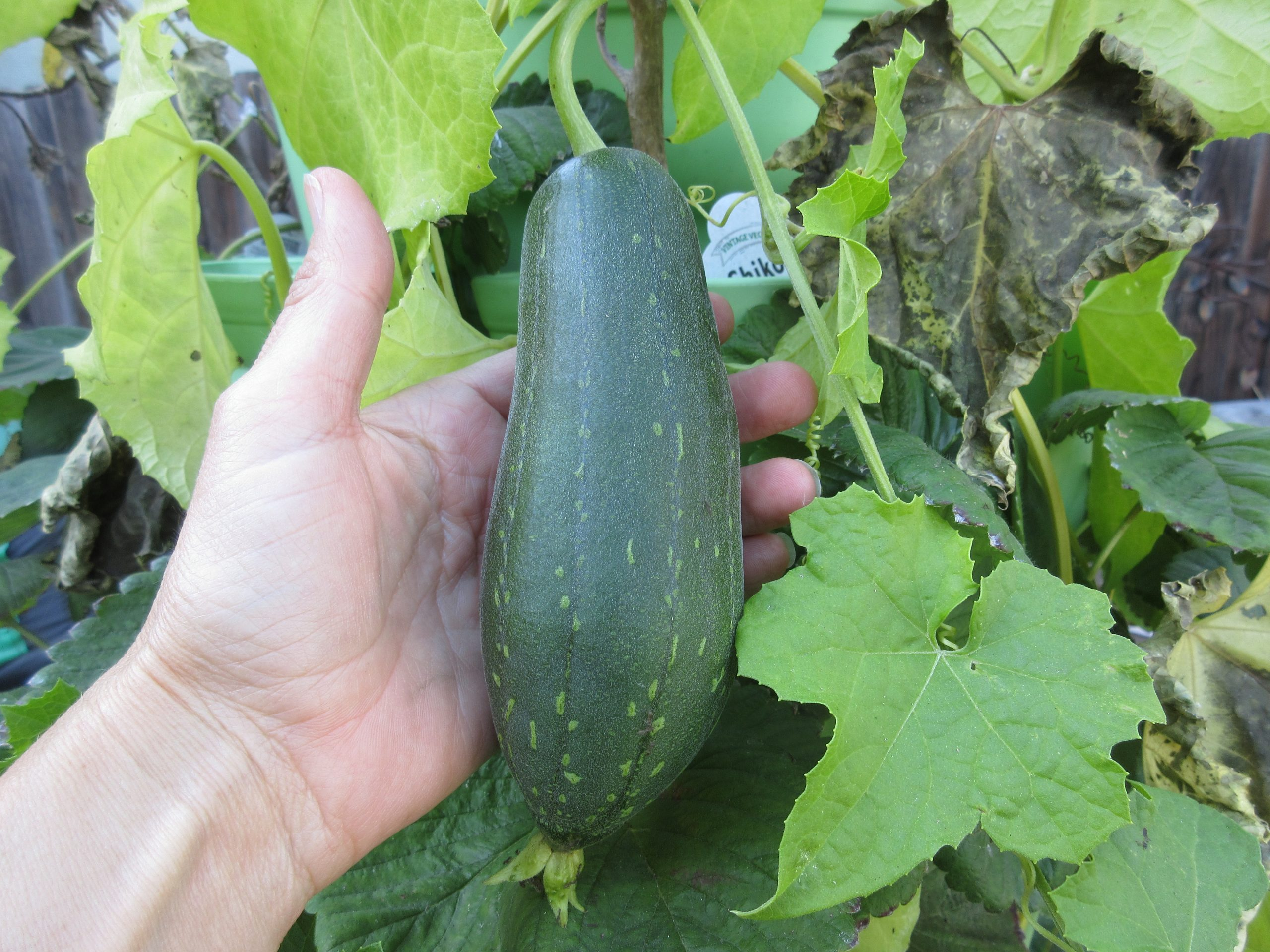 You are currently viewing Harvesting Luffa