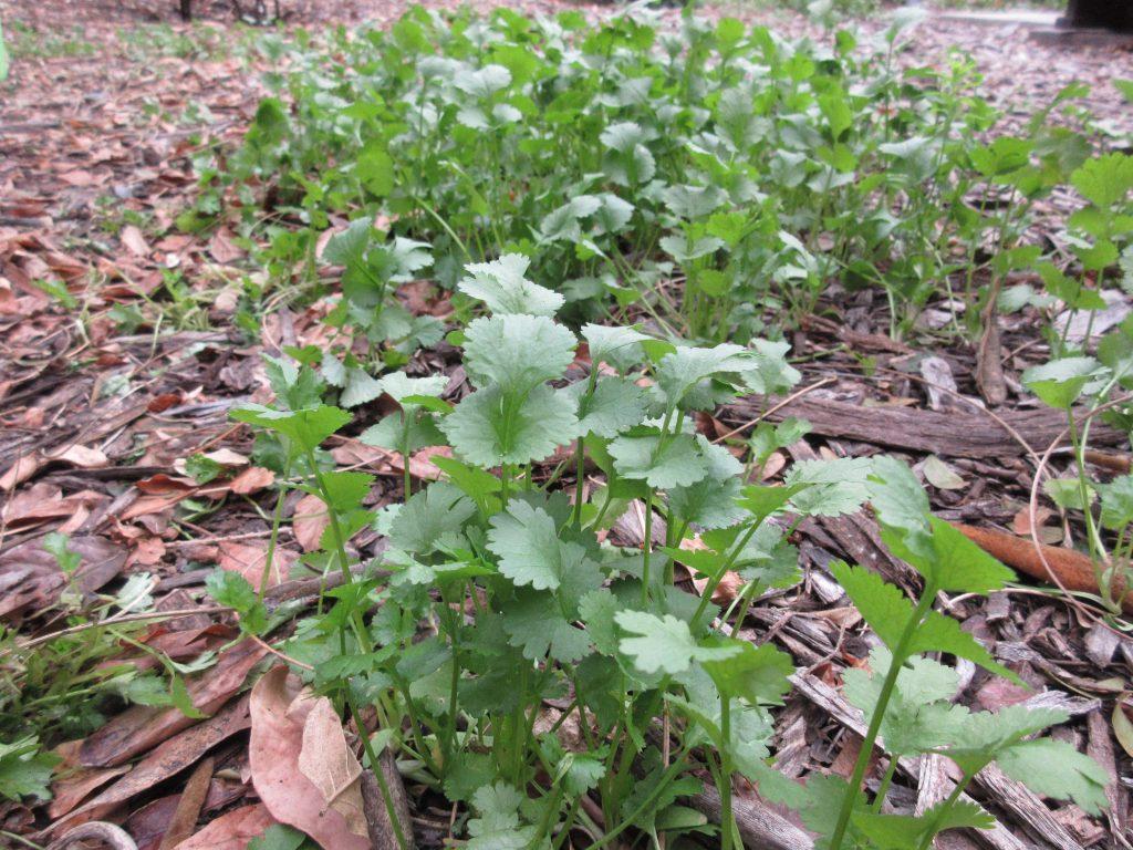 Rogue cilantro