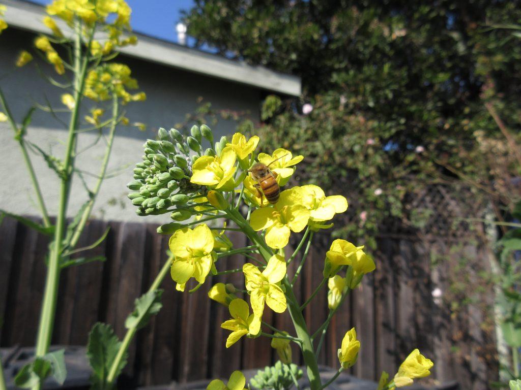 Bee on kale flower