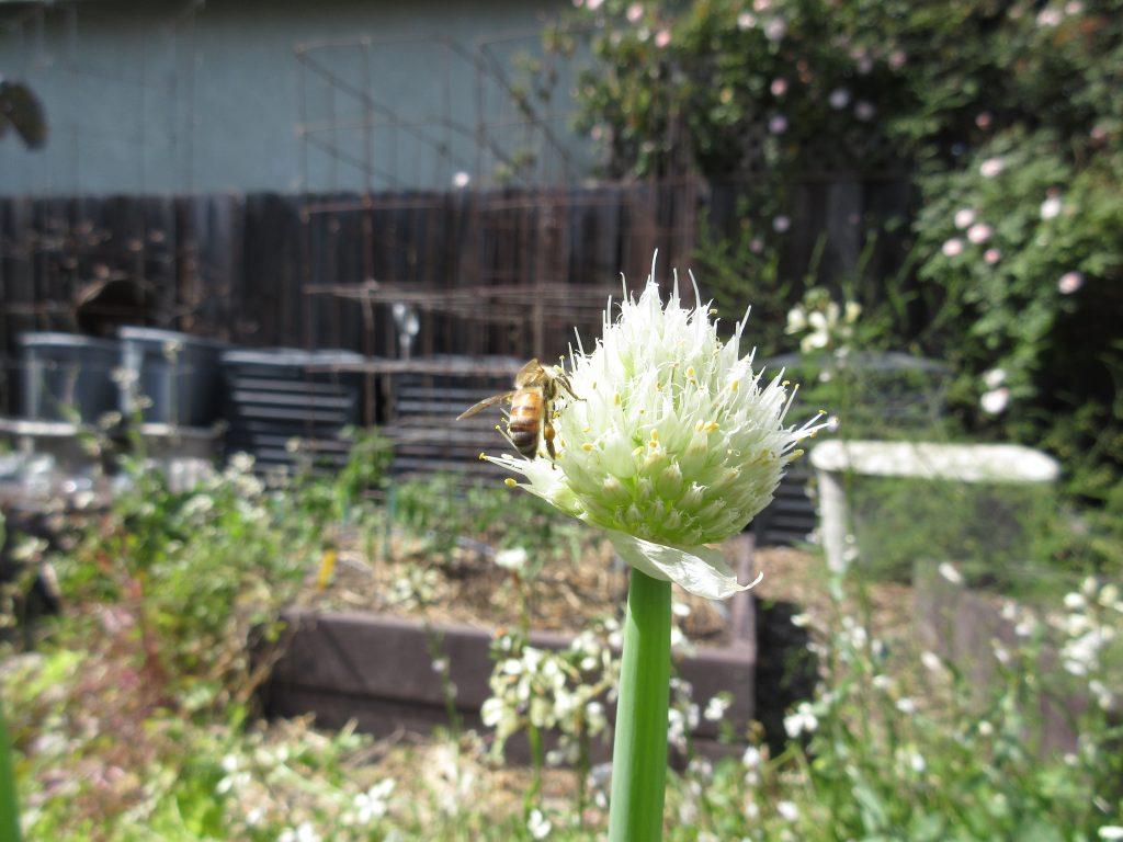 Green onion bee flower