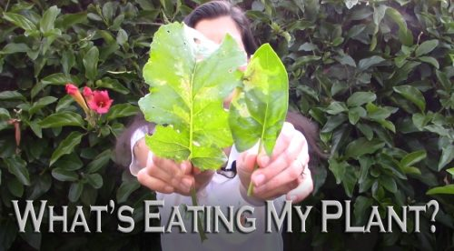 Read more about the article YouTube: What's Eating My Plant?