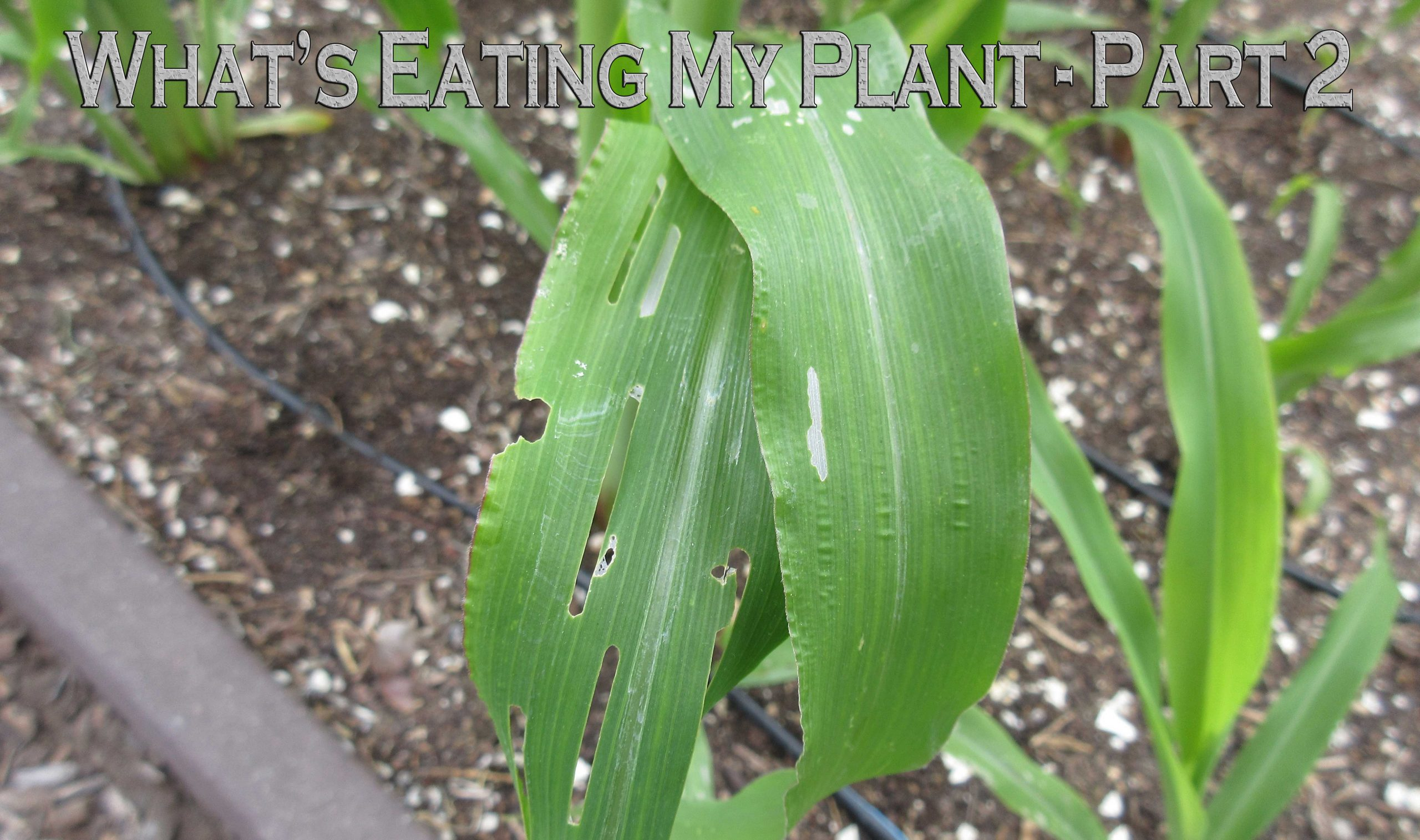 You are currently viewing YouTube: What's Eating My Plant – Part 2