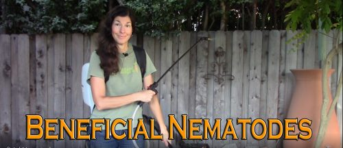 Read more about the article YouTube: How to Apply Beneficial Nematodes to Control Pests in Your Garden