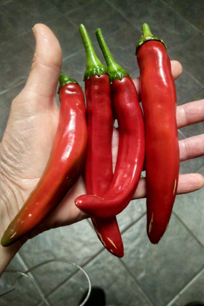 Guajillo pepper fresh
