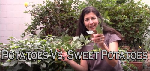 Read more about the article YouTube: Potatoes Vs. Sweet Potatoes