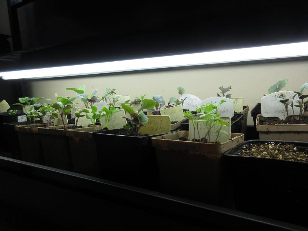 Brassicas under growlights